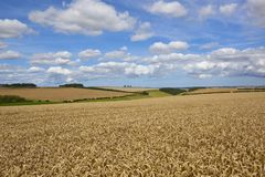 Valley with golden wheat Royalty Free Stock Images