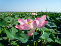 Valley of lotuses Royalty Free Stock Images