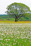 Valley of Narcissi in Khust, Ukraine Stock Photos