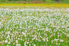 Valley of Narcissi in Khust, Ukraine Stock Photography