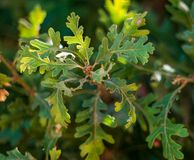 Free Valley Oak Leaf Glow Close Up Shot Royalty Free Stock Photography - 158688857