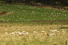 Valley Of Sheep