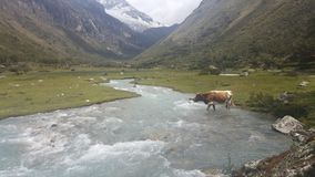 A valley in the Peruvian Andes. A cow crossing the river in a valley in Huascaran National Park enroute to Laguna 69 in the Peruvian Andes Royalty Free Stock Images