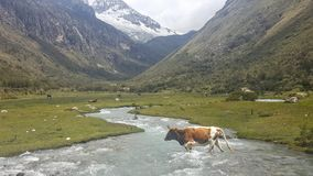A valley in the Peruvian Andes. A cow crossing the river in a valley in Huascaran National Park enroute to Laguna 69 in the Peruvian Andes Stock Images