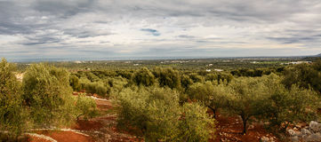 Valley of secular olive trees in Fasano Stock Images