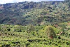 Valley and tea plantations Royalty Free Stock Photos