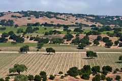 Valley of vineyards. And oak trees in southern california Royalty Free Stock Photo