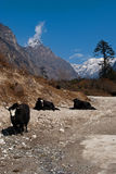 Yaks grazing in Yumthang valley Stock Image