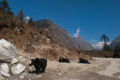 Yaks grazing in Yumthang valley Stock Images