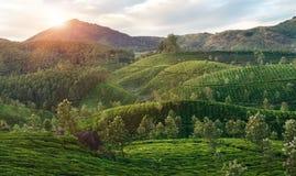 Valli verdi delle piantagioni di tè della montagna in Munnar Fotografia Stock Libera da Diritti