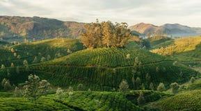 Valli verdi delle piantagioni di tè della montagna in Munnar Immagini Stock