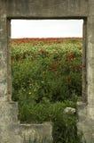 Vallmo blommar i äng Royaltyfri Foto