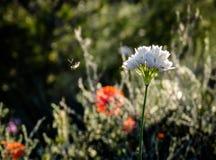 Vallmo blommar i ett fält i Huesca Zaragoza Spanien arkivfoton