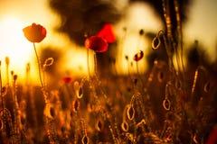 Vallmo blommar i solnedgång Royaltyfri Fotografi