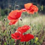 Vallmo blommar längs den Lycian vägen - retro effekt Royaltyfria Bilder