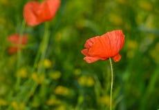 Vallmo blommar på ett vårfält Royaltyfri Foto