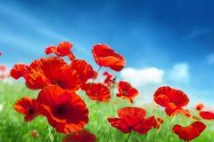 Vallmo blommar på fält arkivfoto
