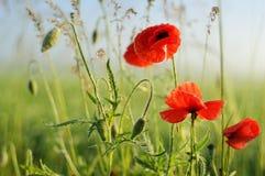 Vallmo blommar på fält och solig morgon Arkivfoto