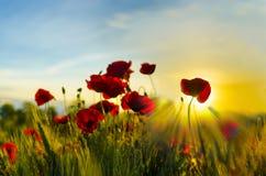 Vallmo blommar in på solnedgången royaltyfri bild