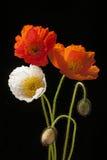 Vallmo blommar på svart Arkivfoto