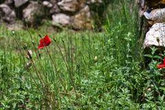 Vallmo blomstrar i forntida fördärvar i Dion, Grekland Arkivbilder