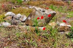 Vallmo blomstrar i forntida fördärvar i Dion, Grekland Royaltyfri Foto