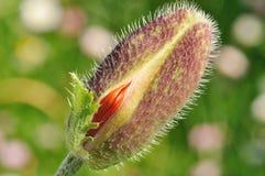 vallmo för blomknopp som bara startar till Arkivbilder