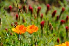 vallmo för Kalifornien växt av släkten Trifoliumcrimson Royaltyfri Fotografi