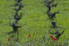 Vallmo framme av ett fält av vinrankor arkivfoto