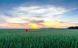 Vallmo i ett fält av grönt vete på solnedgången Arkivfoto