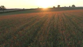 Vallmo i ett fält på solnedgången stock video