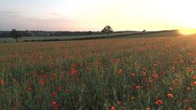 Vallmo i ett fält på solnedgången