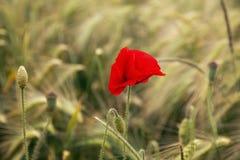 Vallmo i ett kornfält Arkivbild