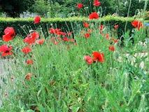 Vallmo i ett litet fält i trädgården Royaltyfria Bilder
