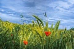 Vallmo i ett vetefält arkivfoto