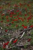 Vallmo i israelisk skog Royaltyfri Bild