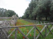 Vallmo i Italien Fotografering för Bildbyråer