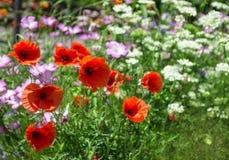 Vallmo i sommarträdgård Arkivfoton