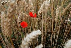 Vallmo i vetefält fotografering för bildbyråer