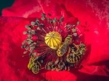 Vallmo och bi för knopp röd Royaltyfri Foto