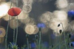 Vallmo och blåklinter Royaltyfri Fotografi
