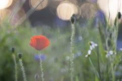Vallmo och blåklinter Royaltyfria Bilder