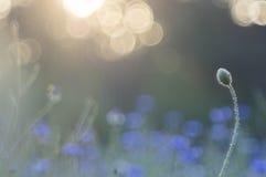Vallmo och blåklinter Royaltyfri Bild