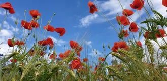 Vallmo- och kornfält med blå himmel royaltyfri bild