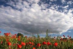 Vallmo och mycket himmel Royaltyfri Foto