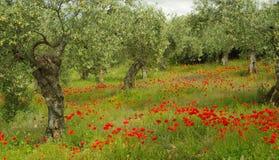 Vallmo och olive tree Arkivbilder