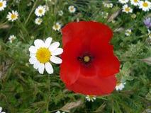 Vallmo- och tusenskönablomma på grön bakgrund naturblommor härliga par Röda intensiva, gula vita kronblad Små tusenskönablommor Arkivbilder