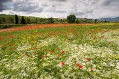 Vallmo och vildblommor i Tuscany Fotografering för Bildbyråer