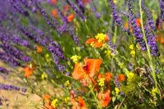 Vallmo på en bakgrund av lavendel- och gulingvildblommor arkivfoto