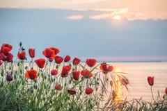 Vallmo på havskusten på soluppgång Fotografering för Bildbyråer